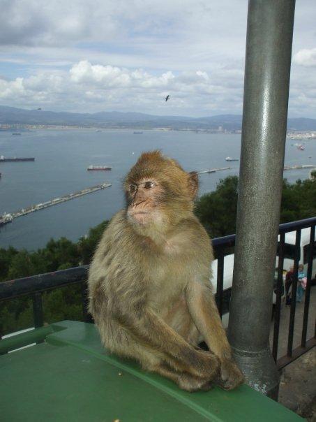 gibraltor monkey